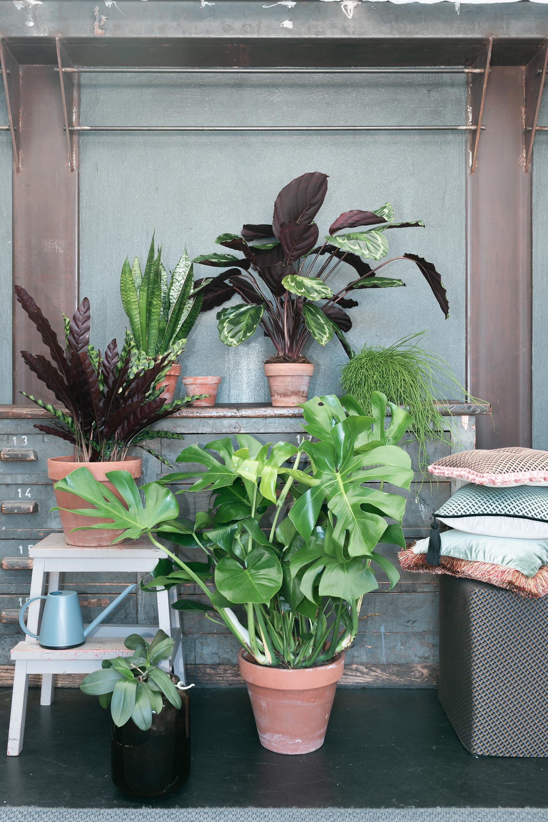 composizione di piante monstera