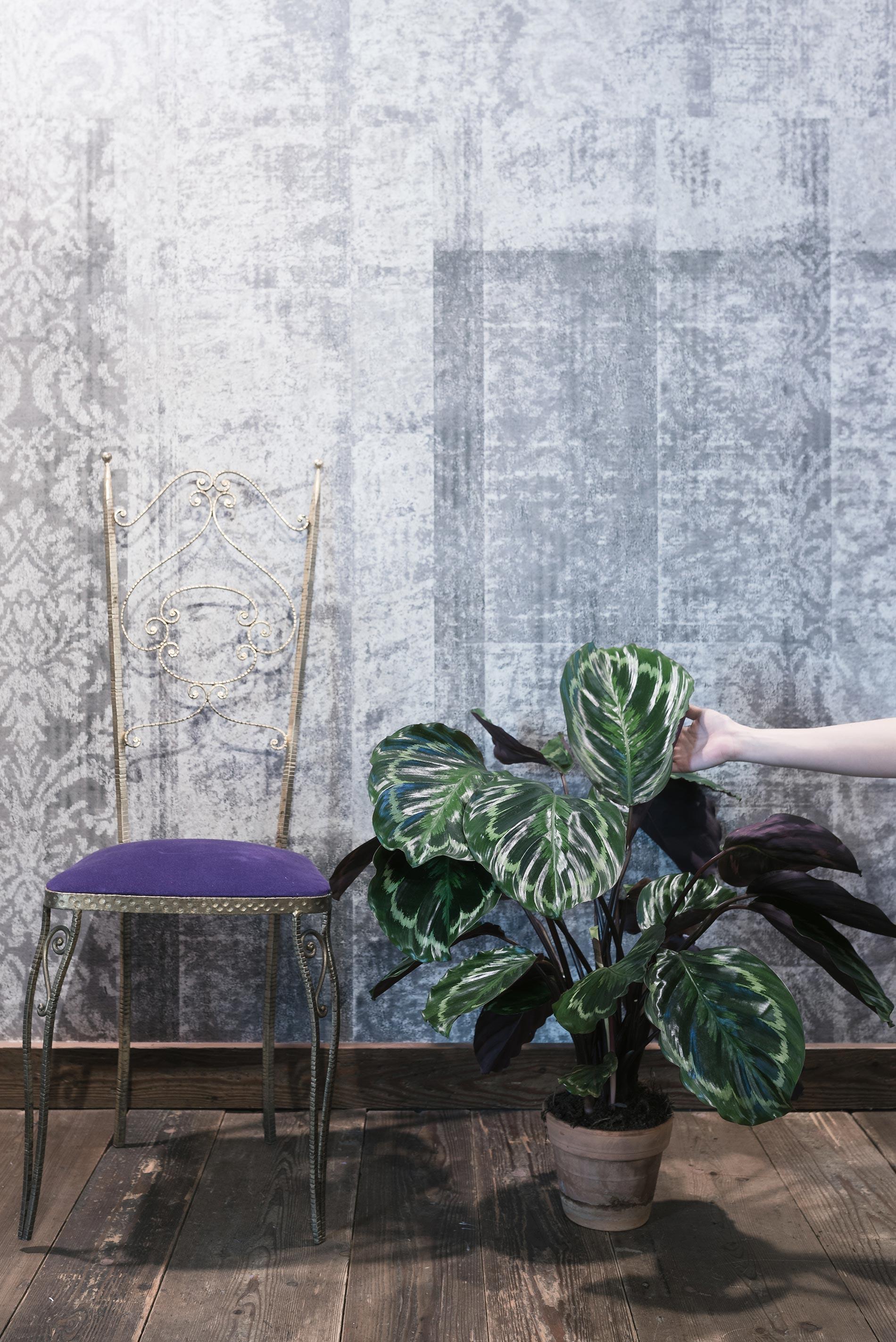 calathea medallion consigli e cure consigli d'interni pianta viola e verde