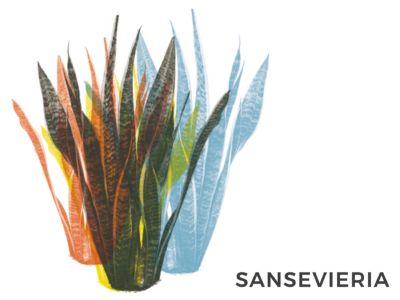 sanseveria sansevieria consigli e cure