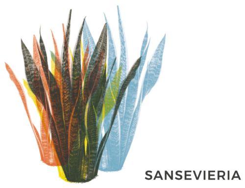 SANSEVIERIA | CONSIGLI E CURA