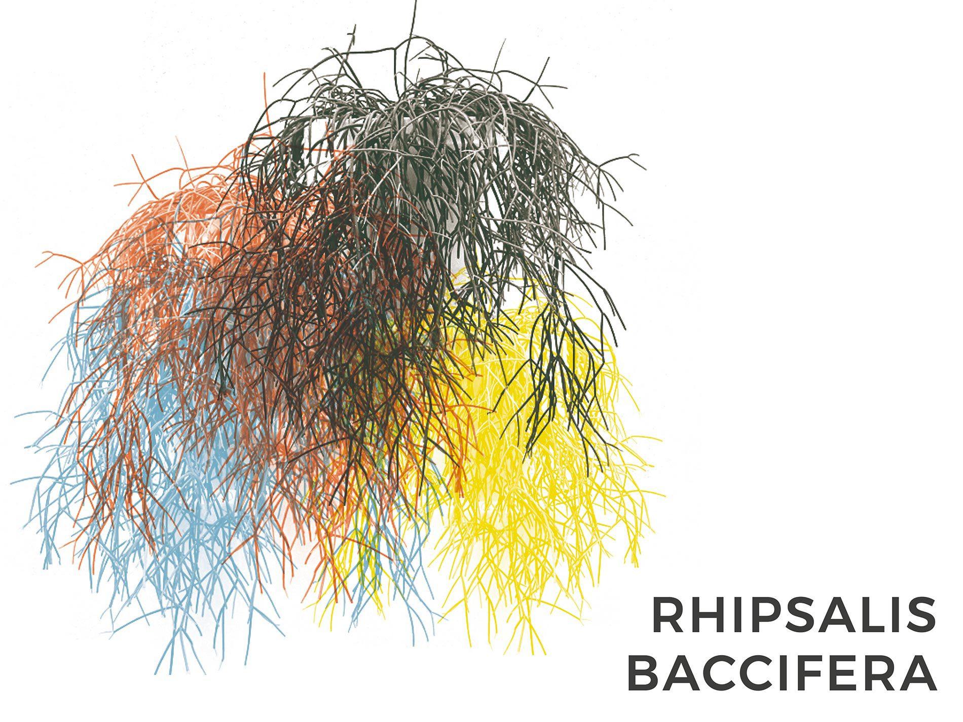 rhipsalis baccifera pianta capelli consigli e cura
