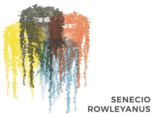 SENECIO ROWLEYANUS | CONSIGLI E CURA