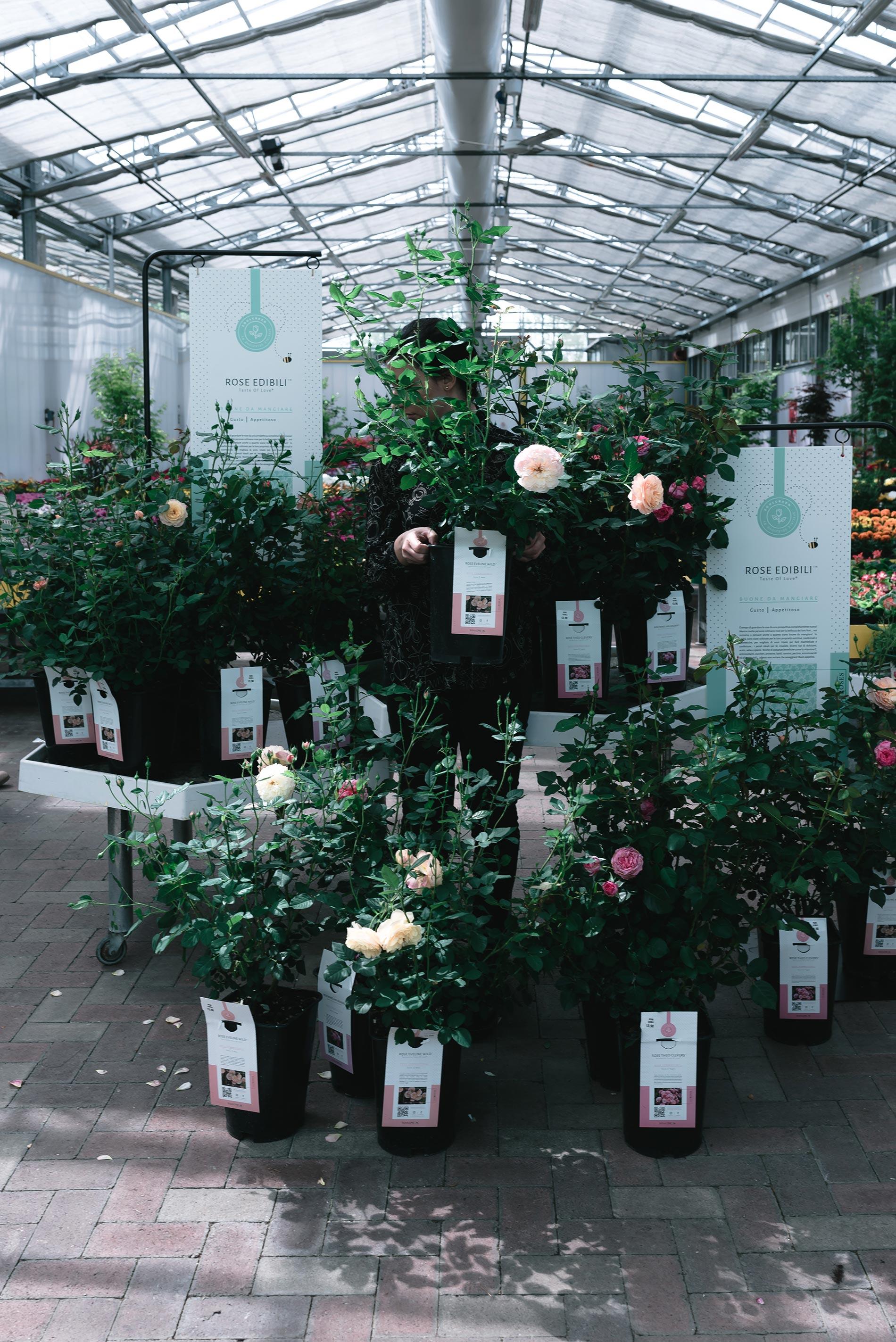 rosa edibile consigli e cura