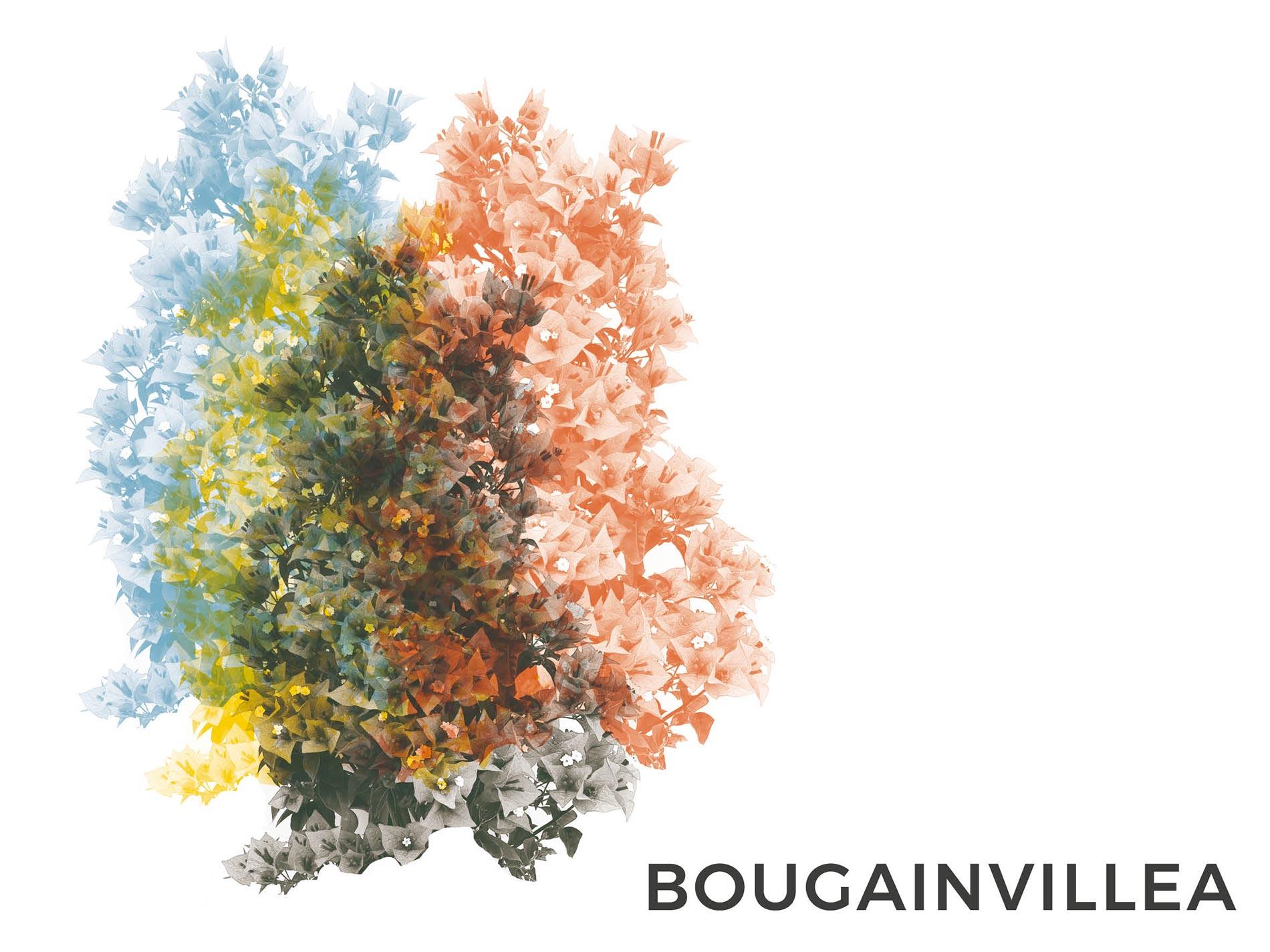 bougainvillea consigli e cura soulgreen