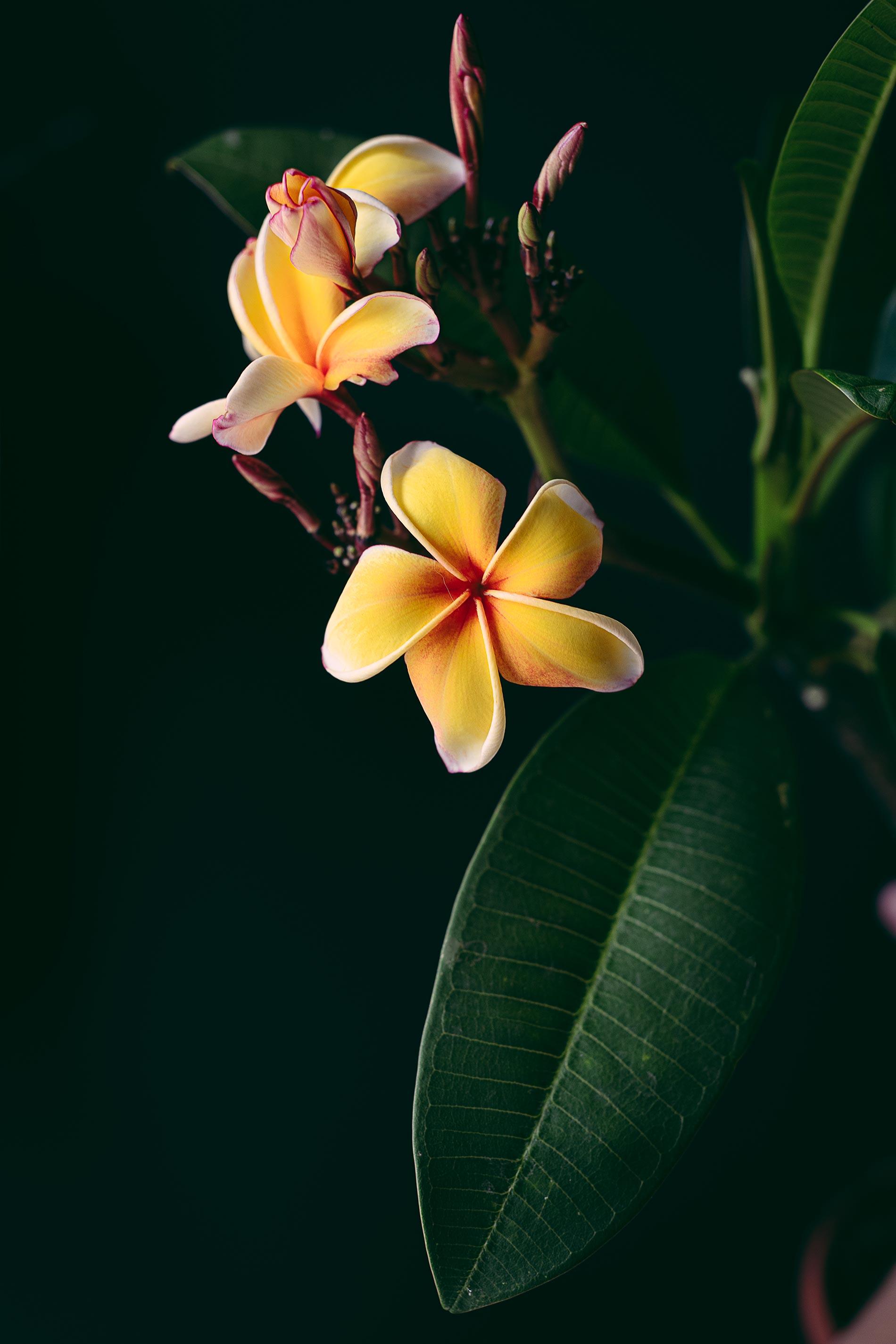 fiori di frangipane