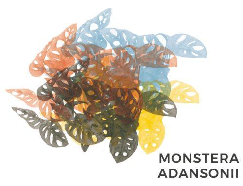 MONSTERA ADANSONII | CONSIGLI E CURA