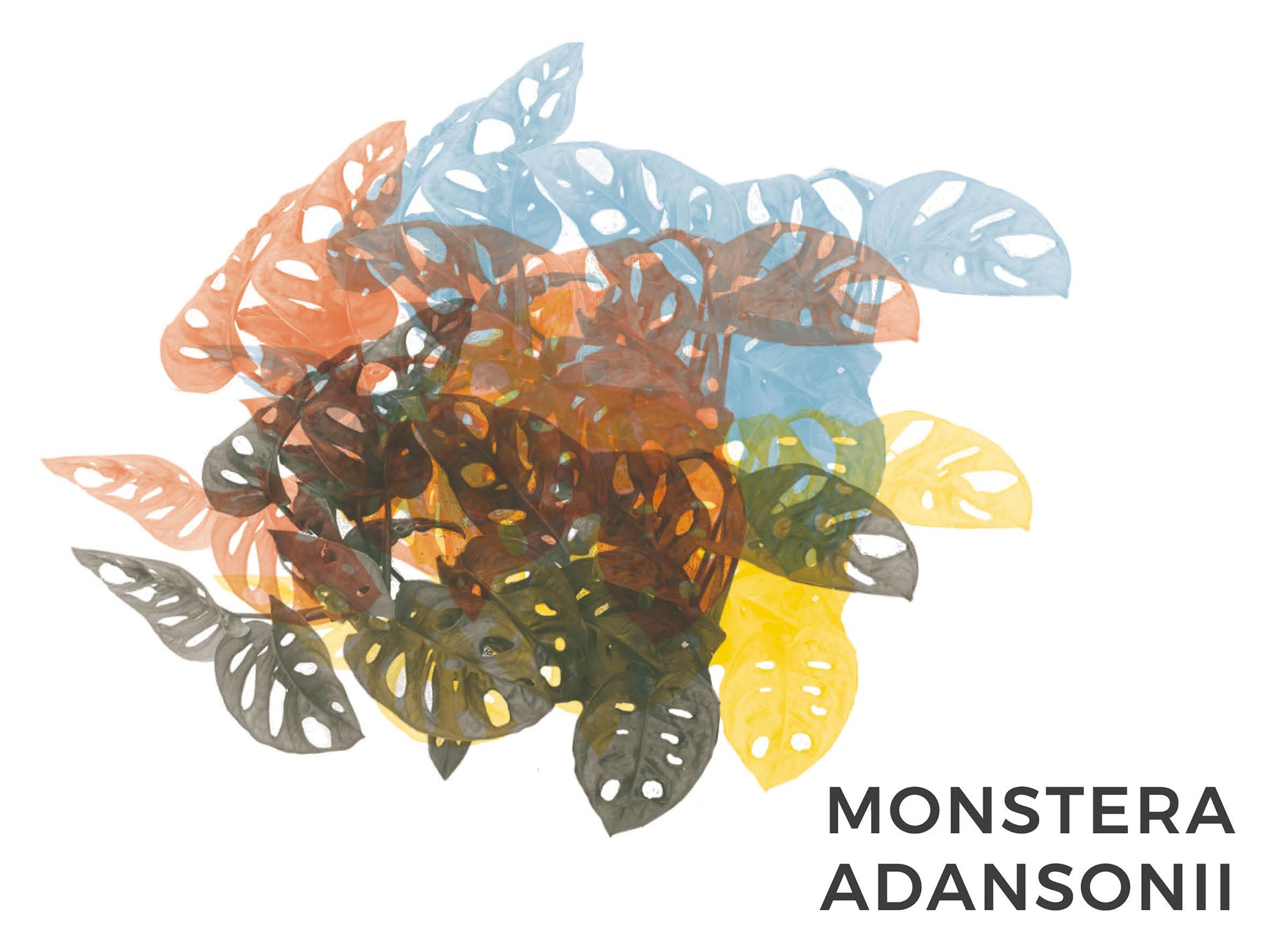monstera adansonii