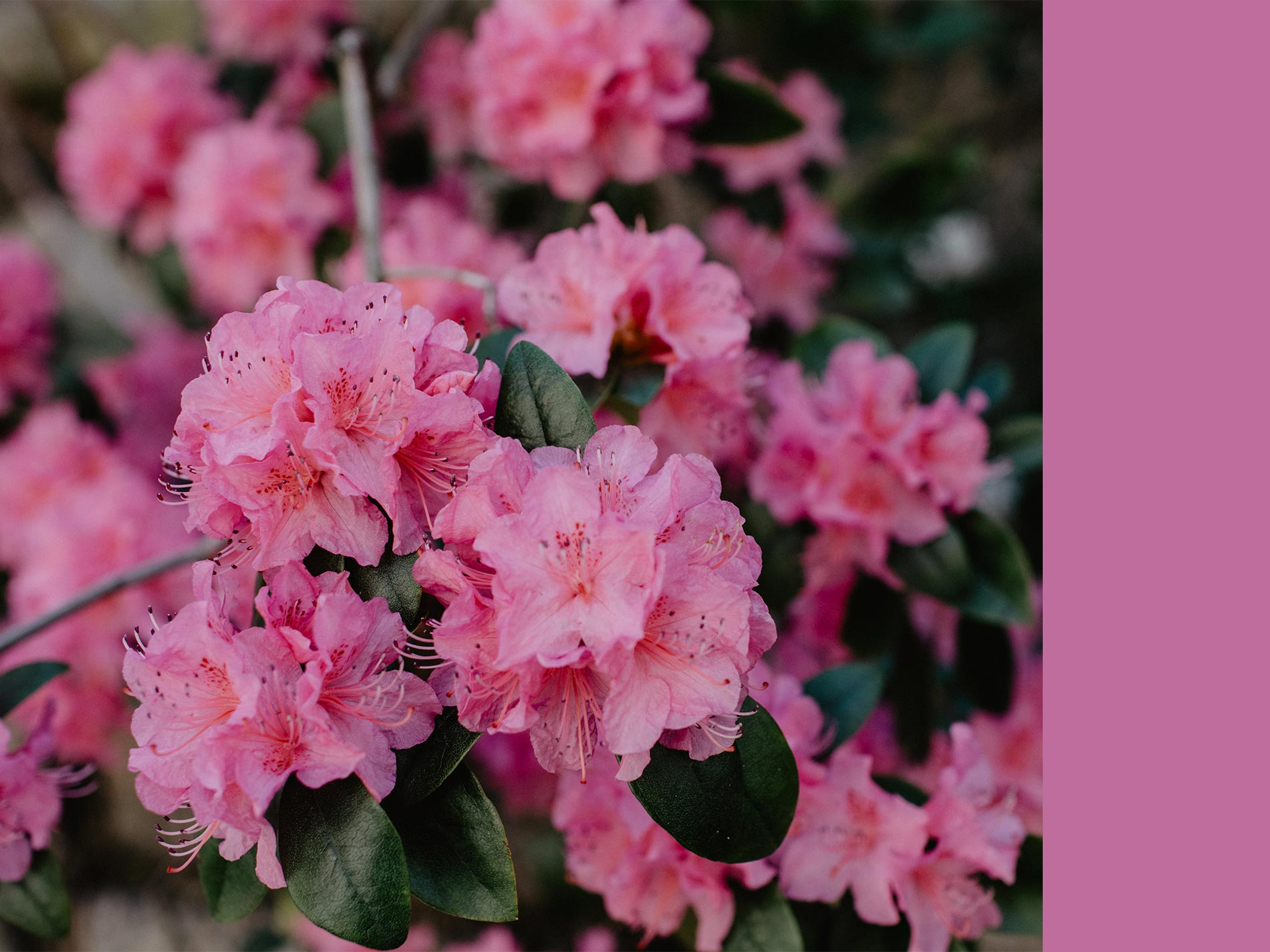 azalea consigli e cura