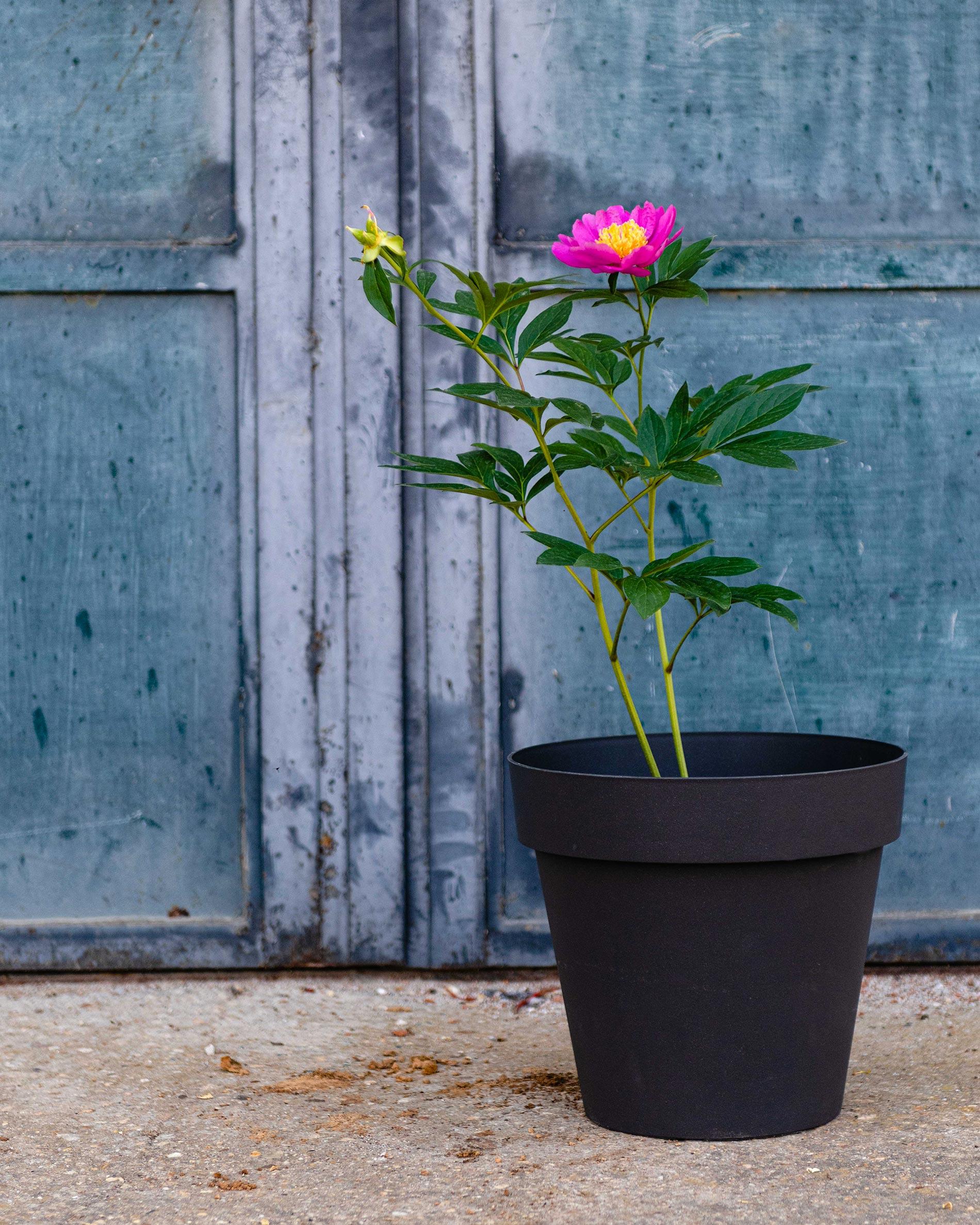 peonia pianta consigli e cura