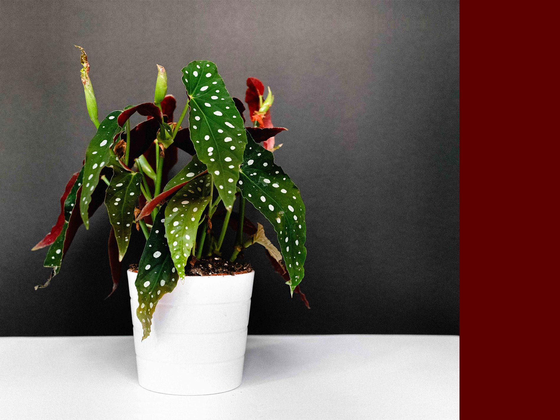 begonia maculata consigli e cura