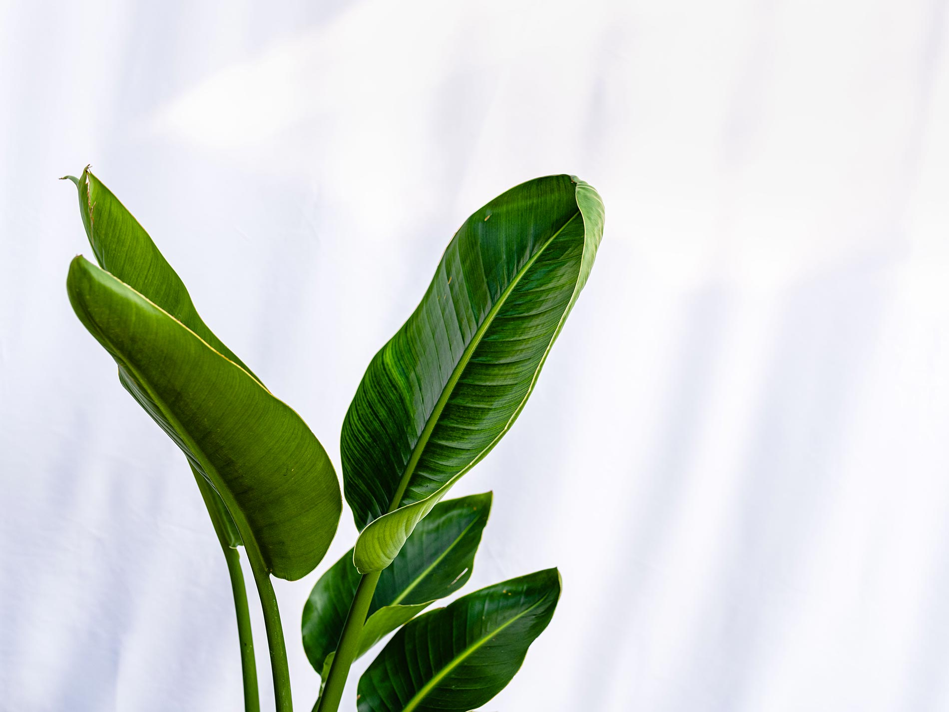 pianta che assomiglia al banano da interni